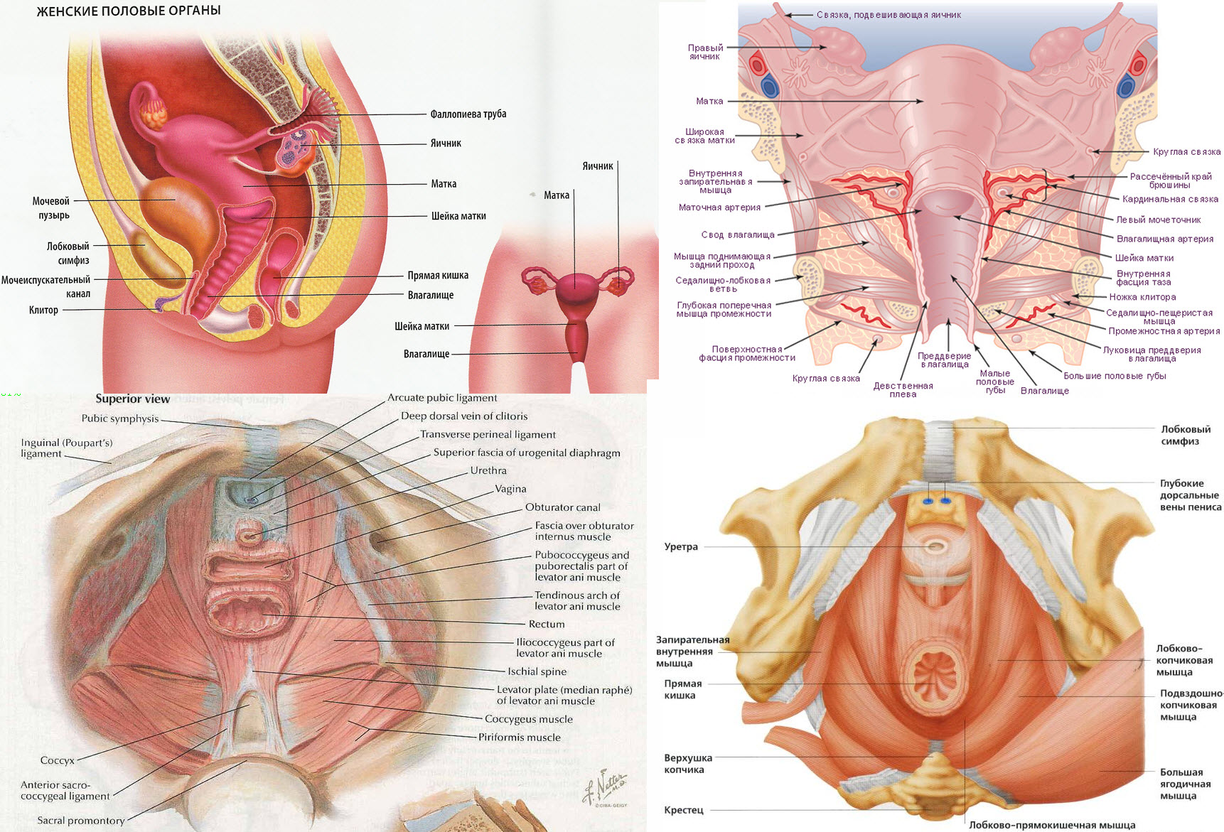 Мышцы тазового дна. Анатомия