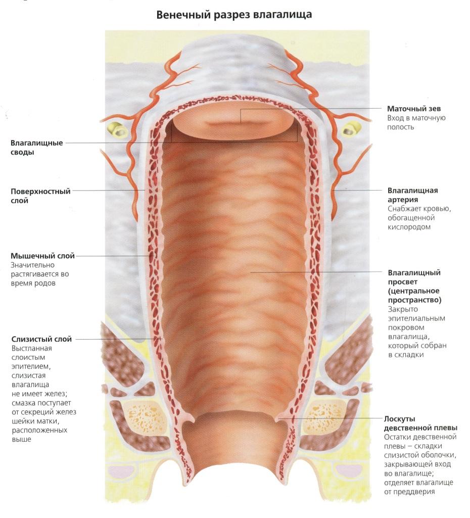 Анатомия влагалища