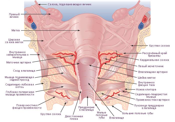 Анатомия связочного аппарата матки
