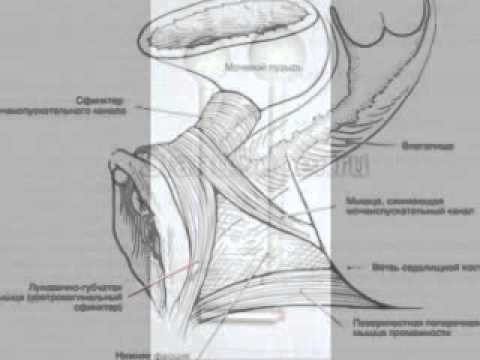 Мышцы, которые поднимают влагалище